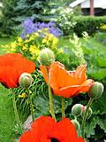 Perhekerho - Piha ja puutarha - Valintaopas - Parhaat perennat